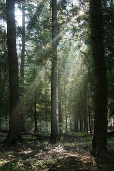 Forest light - Carpathian Mountains, Romania