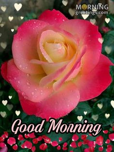 51 Good Morning Wishes With Rose - Morning Greetings – Morning Quotes And Wishes Images Beautiful Flowers Pictures, Beautiful Rose Flowers, Amazing Flowers, Lovely Good Morning Images, Good Morning Roses, Yellow Rose Pic, Daffodils Planting, Most Popular Flowers, The Beast