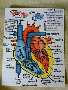 where was this stuff when I was in nursing school! where was this stuff when I was in nursing school! Nursing School Notes, Medical School, Nursing Schools, Cardiac Nursing, Medical Anatomy, Cardiac Anatomy, Anatomy Study, Heart Anatomy Drawing, Anatomy Reference