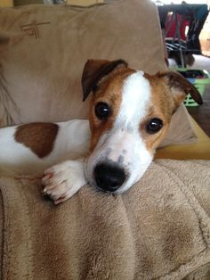 Charlie - Chien - Jack Russell Terrier - Yummypets Plus