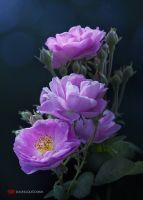 Purple Roses in deviantART ! Amazing Flowers, Beautiful Roses, My Flower, Beautiful Gardens, Flower Art, Beautiful Flowers, Flowers Nature, Rose Violette, Love Rose