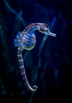 Seahorse /zeepaardje