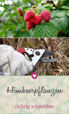 Himbeeren gedeihen auch im heimischen Garten. Was du beim Schneiden der Pflanzen beachten musst, um deine Ernte nicht zu gefährden. #himbeeren #garten #pflanzen