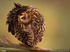 Photograph by Mohn Khorshid. A short-eared owl is in stretching and relaxing mode in a Kuwait natural reserve. Photo submitted to the National Geographic Traveler Photo Contest Owl Photos, Owl Pictures, Nature Photos, Weird Pictures, Relaxing Photos, Short Eared Owl, Beautiful Owl, Beautiful Places, Photography Competitions