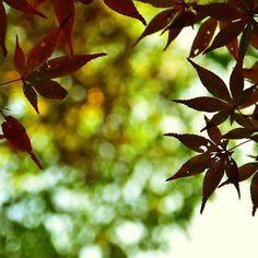 【ttoru1006】さんのInstagramをピンしています。 《maple leafs  #maple #maple_leafs #Autumn #fall #wood #nature #walking #Tokyo #D5500 #photography #紅葉 #モミジ #楓 #秋 #思い出 #ウォーキング #森 #自然 #東京 #foglie_d'acero #Ahornblätter #feuilles_d'érable》