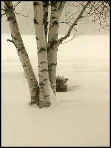 birch photos - - Yahoo Image Search Results