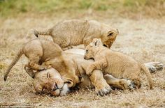 In scenes that will resonate with mothers everywhere, the cubs do not give the lioness a moments rest as they play around