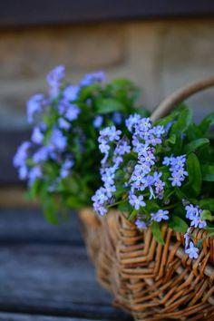 Forget Me Not, Flowers, Flower Basket, Spring, Myosotis Blue Flowers, Beautiful Flowers, Flower Aesthetic, Forget Me Not, Flower Basket, Pansies, Flower Decorations, Planting Flowers, Flower Arrangements
