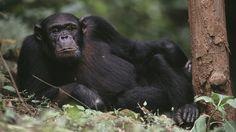 Los chimpancés reconocen la injusticia cuando les afecta