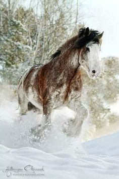 Clydesdale Stallion..Woodhouse White Spirit..