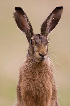 Brown Hare damaged ear by Peter Edge