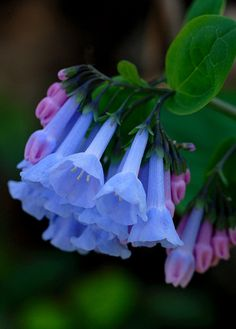 Virginia Bluebells by Bernie Kasper  Via Flickr:  Shot at Clifty Falls State Park in Madison Indiana