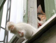 Curious Window Cat, via Flickr.
