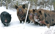 My pigs in the snow... Berry, Lacey, Hairy Mary and Cagney (left to right)