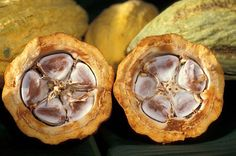 Cocoa Pods with the Cocoa Beans inside