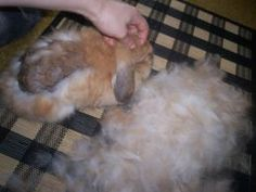 Long Haired Bunny Care Guide: The Great Bunny Moult, What To Do When All Your Rabbit's Fur Falls Out eather its mites or molting .it mostly happens to long haired rabbits