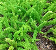 "(Asparagus densiflorus ""Myers"")  photo-393.JPG - Andrés Fortuño"