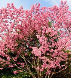 Cerisiers en fleurs au Japon #sakura #hanami #cerisier #printemps Comment Planter, Sakura, Spring, Plants, Gardens, Cherry Blossom, Flowers, Planters, Plant