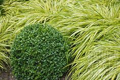 BUXUS_BALL_IN_FRONT_OF_HAKONECHLOA_MACRA_AUREA