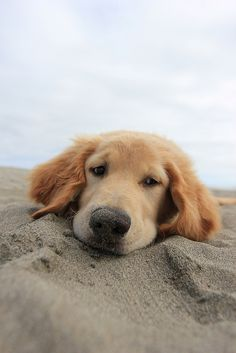 Golden retriever at the beach. The Beach Boys, Dog Beach, Beach Bum, Cute Dogs And Puppies, I Love Dogs, Doggies, Animals And Pets, Cute Animals, Tier Fotos
