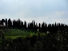 Cypresses - Photo by Bianca Corti