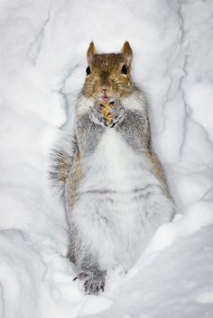 """Snow Squirrel"" by Shibuya Sakura on Flickr - The squirrel scampered over to fetch a peanut and then took it to his spot to eat...the powdery snow gave way under the weight...and the squirrel just went with it and lay back in comfort in the soft snow to finish the nut!"