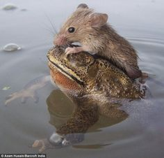 Лягушка спасла тонущую в пруду крысу Frog saves rat from drowning as tiny creature hitches a ride across pond 8 Oct 2013 The frog appeared at the rat's side as it clung t. Animals And Pets, Baby Animals, Funny Animals, Cute Animals, Pond Animals, Beautiful Creatures, Animals Beautiful, Beautiful Cats, Beautiful Pictures