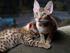 Ocicat is an exotic looking cat breed that has the ability to garner people's attention and steal their hearts. Appearance wise the Ocicat looks a bit similar to a cat in the wild. Ocicat, Cat Having Kittens, Cats And Kittens, Gato Manx, Gato Bengali, Large Cat Breeds, Hypoallergenic Cats, Purebred Cats, Tigers