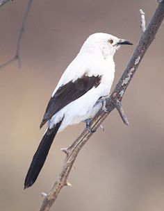 Southern Pied Babbler (Turdoides bicolor) in Northam, South Africa - photo by Warwick Tarboton