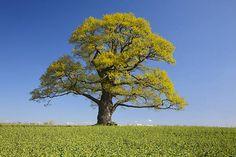 Old oak tree at Habichtswald nature park, Hesse, Germany, Europe
