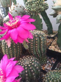 #cacti #cactus #cactilove #cactilover #succulent #succulents #succulove #plants #plant #plantslover #flowers #pink #lobi #lobivia #lobivialover #saigon #xuongrong #erialshop