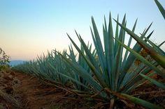 Tequila, Jalisco. México. Maguey Agave Azul.