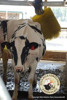 A Good Scratch - Even cows love a good back scratch! This farm in Berks county, Pa. installed a back scratcher just for their cows to enjoy.
