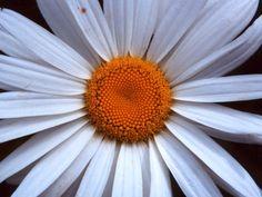 I'm ready for my close up. Daisy Love, Daisy Daisy, Daisy Background, Daisy Wallpaper, Orange Sorbet, Happy Flowers, Garden Pictures, Poppies, Sunflowers