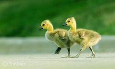 Goslings Crossing the Road by Prathap