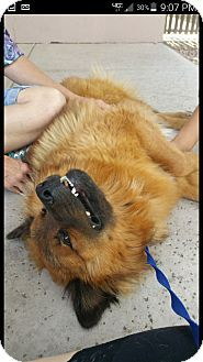 Riley | Adopted Dog | Mesa, AZ | Chow Chow/Shepherd (Unknown Type) Mix