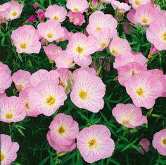Pflanzen-Kölle Nachtkerze 'Siskiyou' rosa, 11 cm Topf.  Bienenweide mit leuchtenden, rosafarbenen Blüten, die besonders in der Dämmerung begeistern. Wunderschön im Steingarten und als Bodendecker.