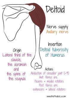 Human Body Anatomy, Human Anatomy And Physiology, Muscle Anatomy, Hand Therapy, Massage Therapy, Muscles Of Upper Limb, Upper Limb Anatomy, Axillary Nerve, Breast Muscle