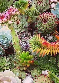 Conoce tus suculentas favoritas (Parte 2) Continuamos con el catáolog de suculentas ornamentales  parte 2  Conoce las nuevas especies que hemos agregado a la lista. Echeveria, Bonsai, Cactus, Dream Garden, Succulents, Plants, Design, Colorful Succulents, Paisajes