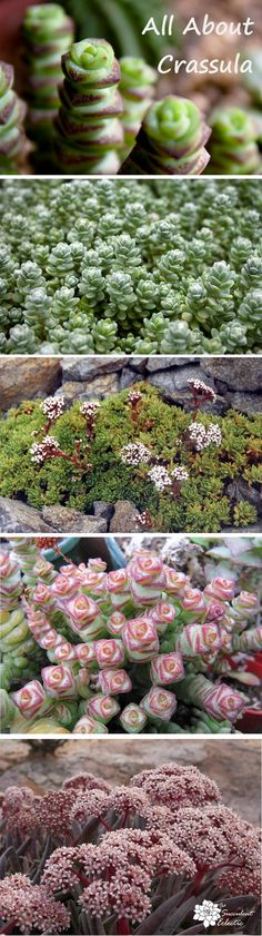 Not Just Filler - Fabulous All about growing crassula. This is a fascinating succulent plant genus that includes both beautiful fillers and truly fabulous stars! Pin now, read later! Cacti And Succulents, Planting Succulents, Garden Plants, Planting Flowers, Propagate Succulents, Succulent Planters, Flowering Plants, Crassula Succulent, Succulent Care