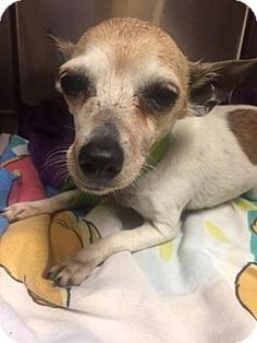*Senior* Chihuahua Dog for adoption in New York,Baby is a 12 year old,  female chi who was dumped at the shelter by the family who was supposed to love her forever. Imagine if we treated our human elderly family members like that!