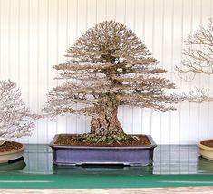 http://bonsaibark.com/wp-content/uploads/elm3.jpg