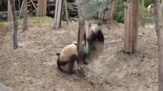Two minutes and twenty seconds of pandas hilariously falling off things, courtesy of the Toronto Zoo.