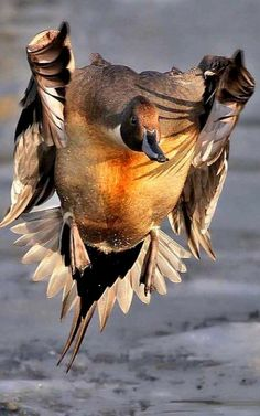 Duck in flight.. (Photo by Gary Woodburn)