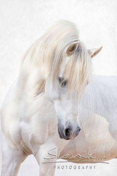 — Jede Menge Charme auf vier Beinen: Araberberber Chems. #arabian #horse #arab #white #grey