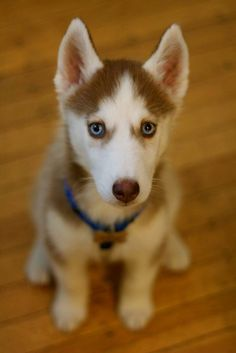 aw i love red huskies! i love them all. just need the money to buy one:-(...
