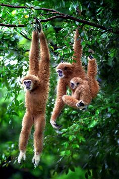 ENDANGERED: Most species of Gibbon (another great ape) are Endangered in the wild, due to habitat destruction. earth-song: Giboon Exercise by ~SAMLIM Animals Of The World, Animals And Pets, Baby Animals, Funny Animals, Cute Animals, Strange Animals, Primates, Mammals, Beautiful Creatures