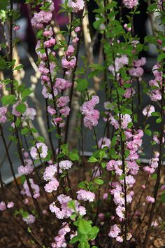 ruusumanteli prunus triloba flower bed pinterest. Black Bedroom Furniture Sets. Home Design Ideas