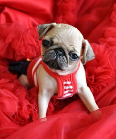 Miniature tea cup Pug Puppies | Tiny Pug Puppy. This Tiny Prince weigh 1.4 lb at 8 weeks. He is ...
