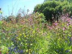 Isles of Scilly Cornwall England.... Walking into a dream of flowers, gorgeous little footpaths abound on the islands. This is ST. Mary's nature trail....The flowers in May are beautiful, but they are all year.N. Photo SG...